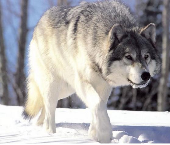 milfisk el gran lobo blanco
